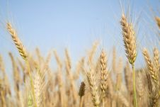 Free In A Wheat Field Royalty Free Stock Image - 20695686