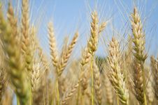 Free In A Wheat Field Stock Photo - 20695760
