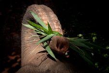 Free Elephant Trunk Royalty Free Stock Photo - 20697515