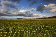 Free Sunflowers Under Cloud Stock Photo - 20697830