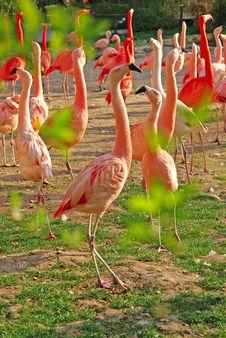 Free Flamingos Royalty Free Stock Image - 20698556