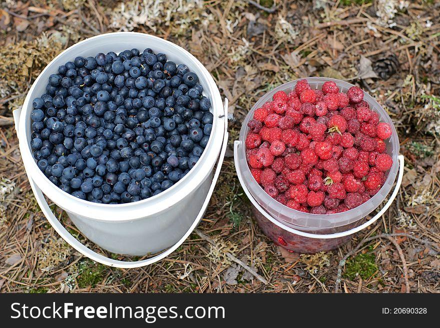 Bucketfuls of wild bilberries and raspberries