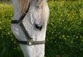 Free Gray Horse With Sad Eyes Royalty Free Stock Image - 2070066