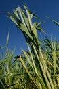 Free Wheat Field Royalty Free Stock Photos - 2073508