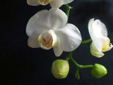 Free Orchid Royalty Free Stock Photography - 2070317