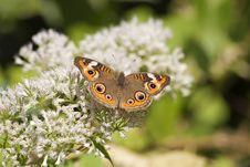 Free Common Buckeye Butterfly Stock Image - 2071181