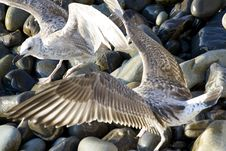 Free Seagulls Stock Image - 2071211