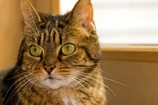 Free Portrait Of Brown Tabby Cat Stock Photos - 2071783