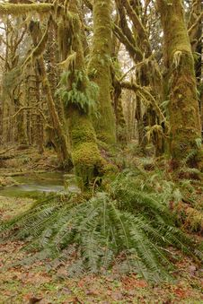 Free Quinault Rainforest Royalty Free Stock Photo - 2072815