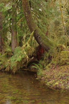 Free Quinault Rainforest Royalty Free Stock Image - 2072826