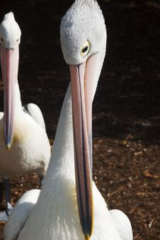 Pelican Face S Stock Image