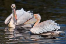 Free Pelican Couple Royalty Free Stock Image - 2073686