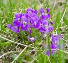 Free Mauve Spring Flowers In Springtime Stock Photo - 2074360
