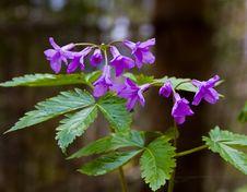 Free Mauve Spring Flowers In Springtime Close-up I Royalty Free Stock Photos - 2074398