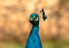 Free Peacock Royalty Free Stock Photography - 2075477