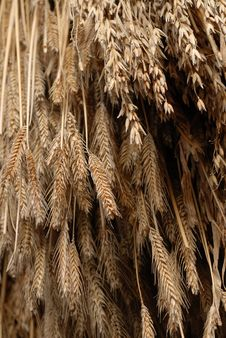Wheat Hanging To Dry Royalty Free Stock Image