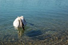 Free A Swan In A Lake Stock Images - 2076034