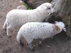 Free Two Sheeps Stock Photo - 2076980