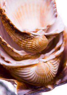 Free Shells Royalty Free Stock Photos - 2077528