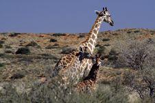 Free Giraffe Family Stock Image - 2078141