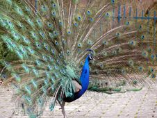 Free Beauty Peacock Royalty Free Stock Image - 2078936