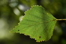 Free Birch Leaf Stock Photos - 2079353