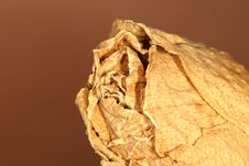 Dried Rose 2 Stock Image