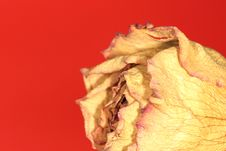Free Dried Rose On Red Royalty Free Stock Photos - 2079398