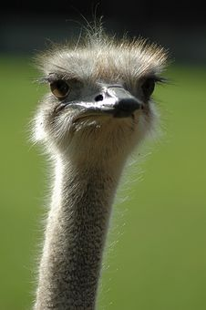 Ostrich Vertical Royalty Free Stock Photo