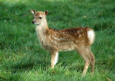 Free Bambi Stock Photography - 2079412