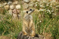 Free The Meerkat Or Suricate Stock Photography - 20704442