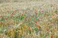 Free Poppy Flowers With Ble Sky Stock Images - 20708634