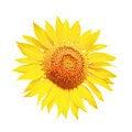 Free Yellow Sunflower Petals Closeup Stock Photos - 20708813