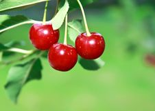 Free Ripe Big Red Cherries On Branch Royalty Free Stock Photos - 20700738