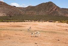 Free Springbok Grazing Stock Photography - 20702722