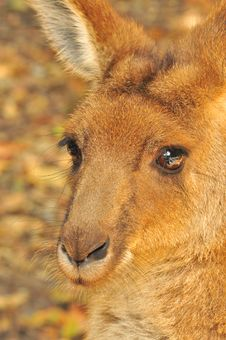 Free Kangaroo Stock Photos - 20703663