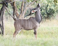 Free Male Kudu Eating Leaves Stock Photo - 20704090