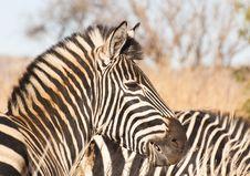 Free Zebra Side Profile Stock Image - 20704151