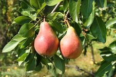 Free Two Pears Royalty Free Stock Photos - 20704168