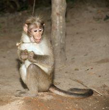 Free Monkey (macaque) Stock Image - 20704701