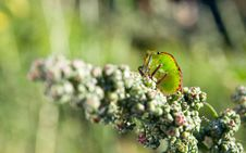 Free Bedbug On The Vegetation Stock Photography - 20704742