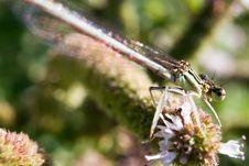 Free Damselfly Resting On Vegetation Stock Photos - 20704743