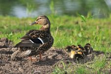 Free Duck Female With Ducklings Stock Images - 20705154