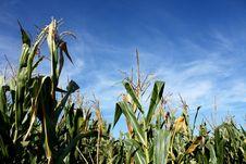 Free Corn Field Stock Photo - 20705490