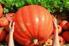 Free Big Size Of Pumpkin Stock Image - 20705851