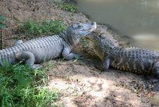 Free Alligator Royalty Free Stock Images - 20707179