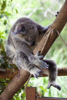 Free Sleeping Koala Royalty Free Stock Photo - 20707305