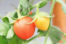 Free Close Up Of Fresh Red Tomatoes Stock Photography - 20708732