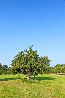 Free Apple Trees In Summer Royalty Free Stock Images - 20708889