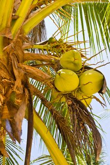 Free Coconut On Tree Royalty Free Stock Photos - 20709258